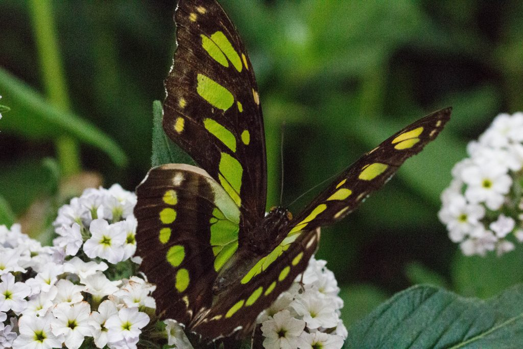 Green and black butterfly on white flower